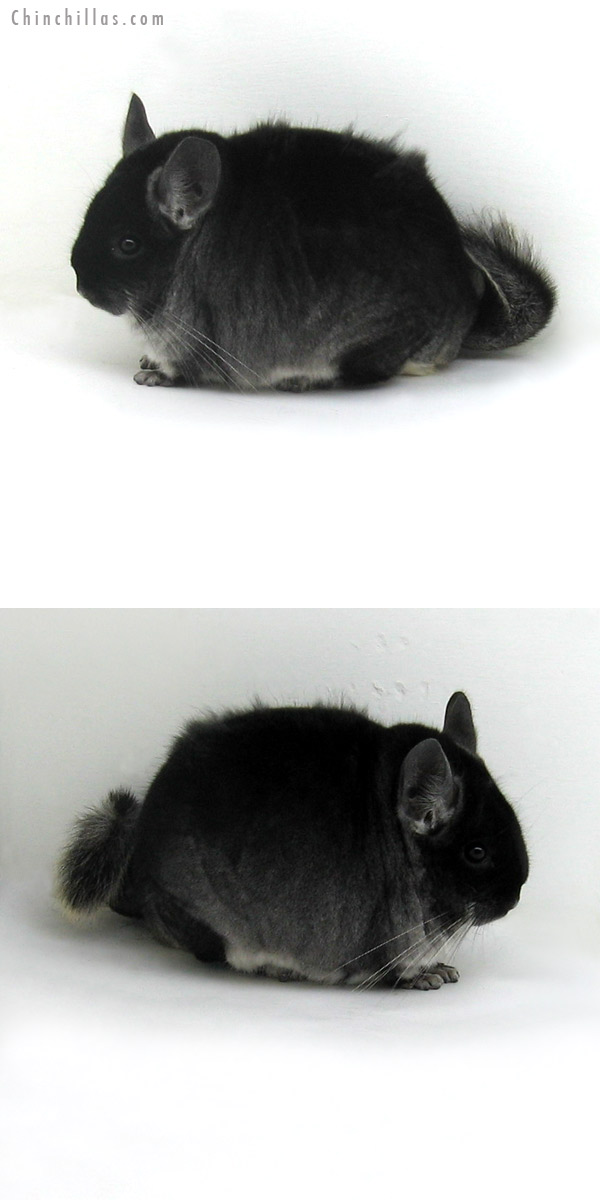 11192 Large Herd Improvement Quality Black Velvet ( Ebony Carrier ) Male Chinchilla