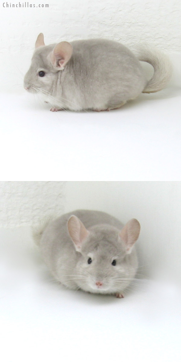 12063 Top Show Quality Beige / Violet Male Chinchilla