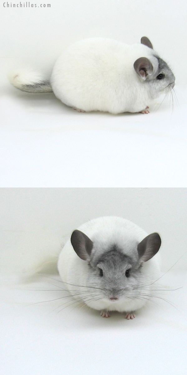 12086 Extra Large Herd Improvement Quality White Mosaic Male Chinchilla