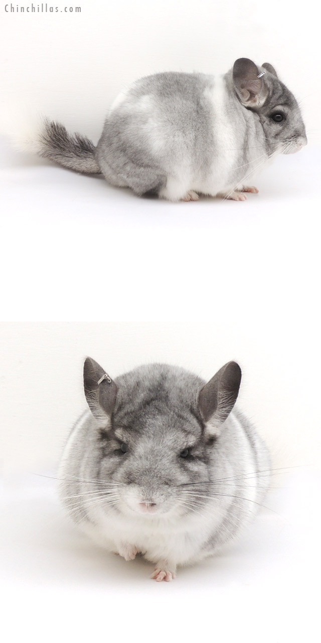 13047 Herd Improvement Quality Silver Mosaic Male Chinchilla