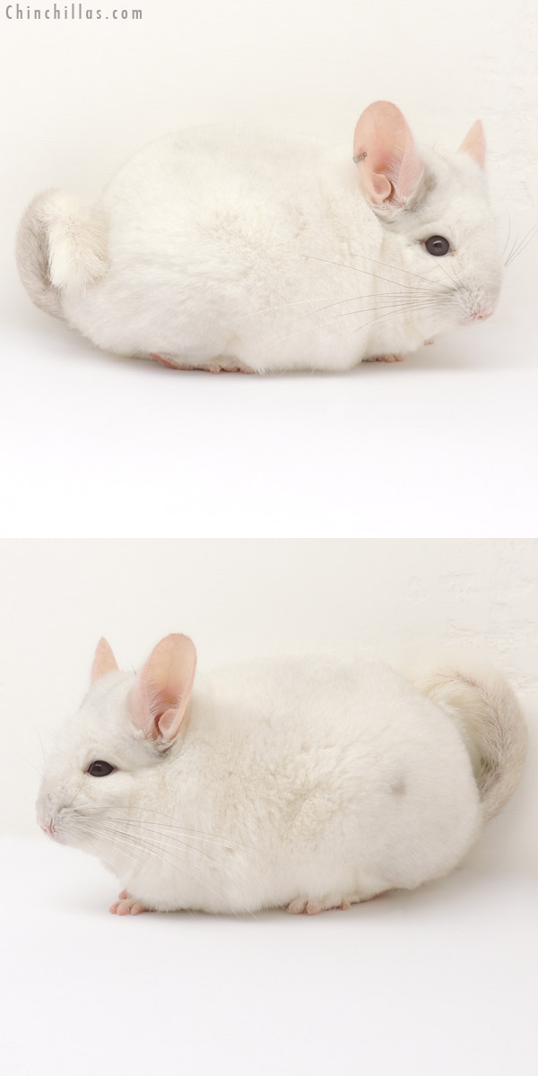 Chinchillas.com Auction - 14088 Large 1st Place Pink White ... Pink White Chinchilla