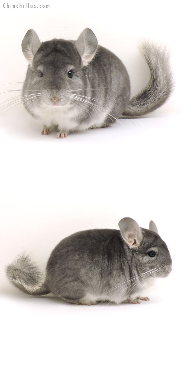14168 Top Show Quality Sapphire Male Chinchilla
