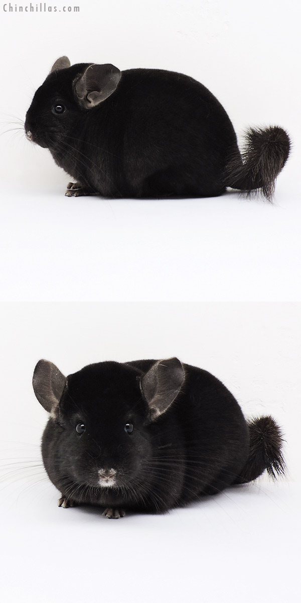 15099 Large Herd Improvement Quality Ebony Male Chinchilla