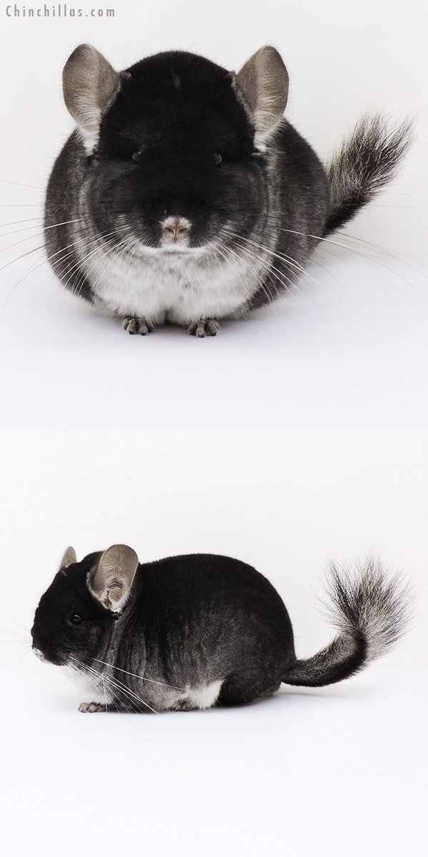 15114 Extra Large Herd Improvement Quality Black Velvet Male Chinchilla