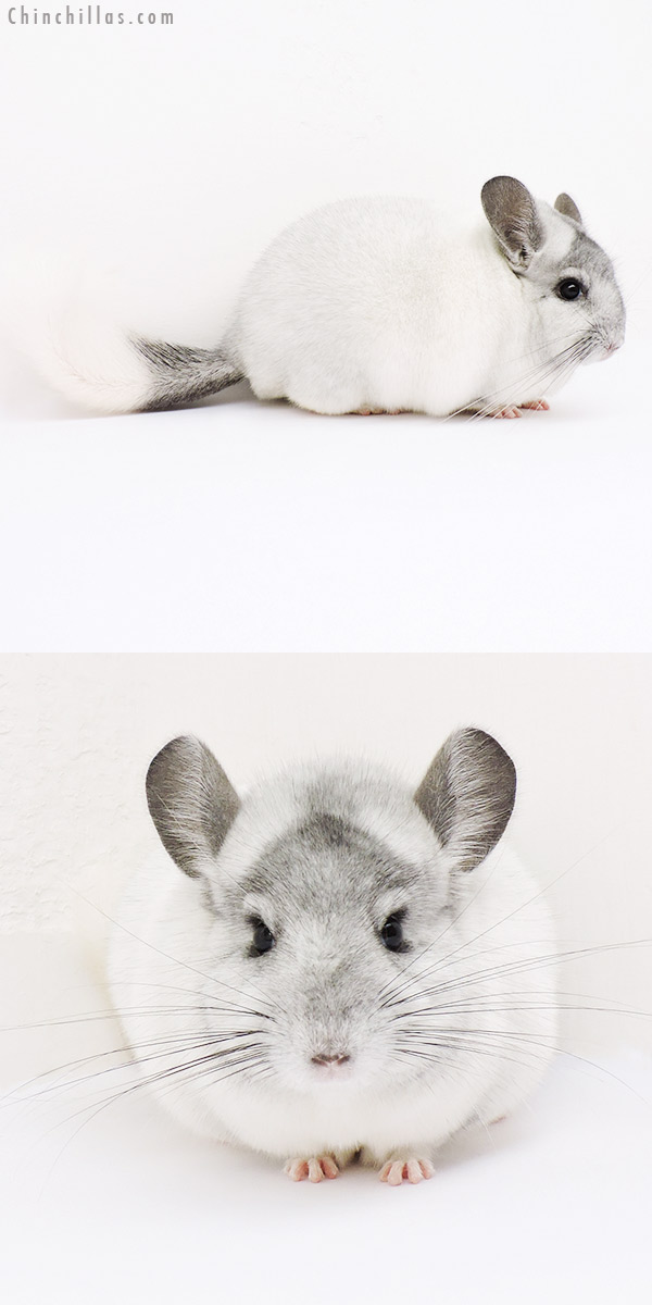 15194 Blocky Herd Improvement Quality White Mosaic Male Chinchilla