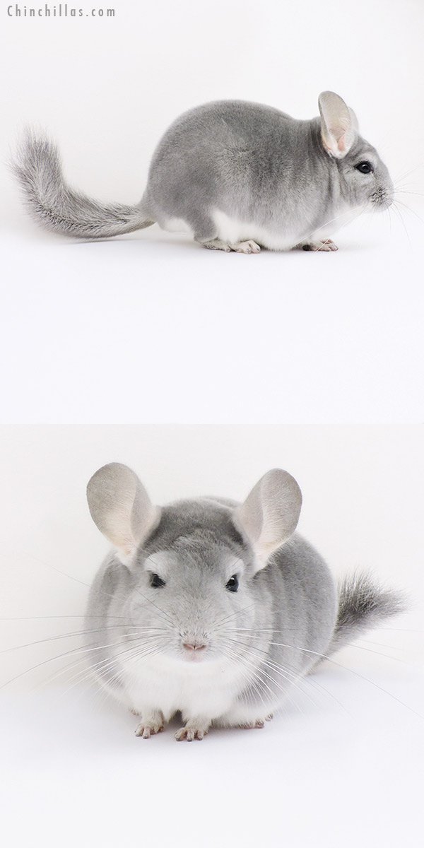 15347 Top Show Quality Blue Diamond Male Chinchilla