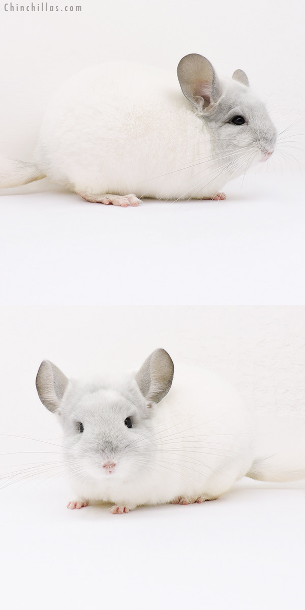 16017 Top Show Quality Violet & White Mosaic Male Chinchilla