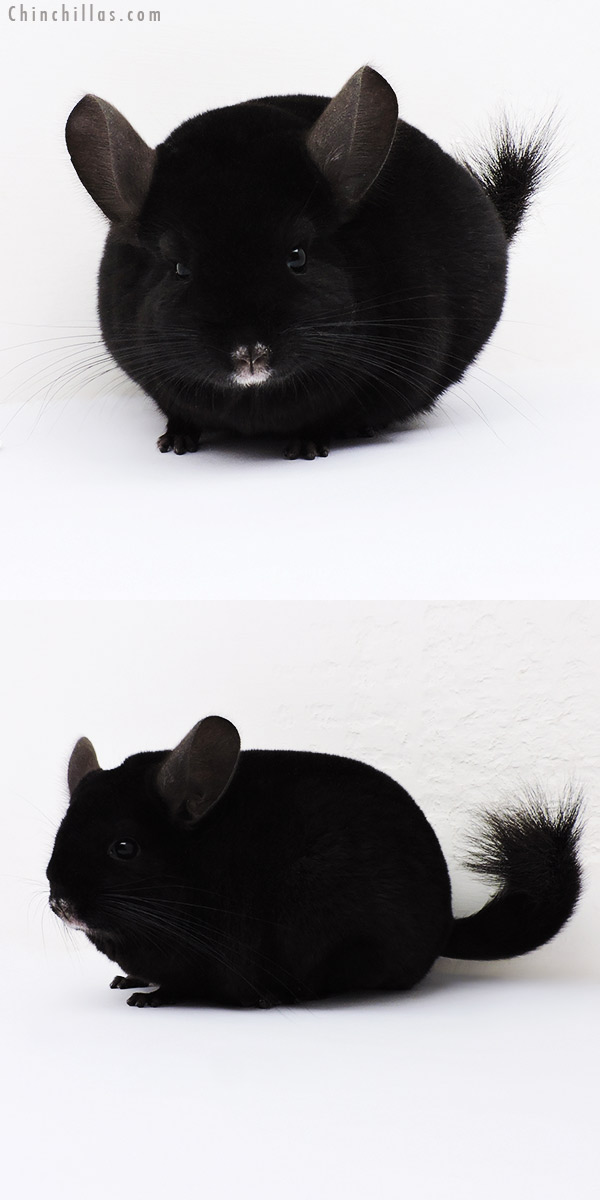 16001 Large Blocky Show Quality Ebony Female Chinchilla