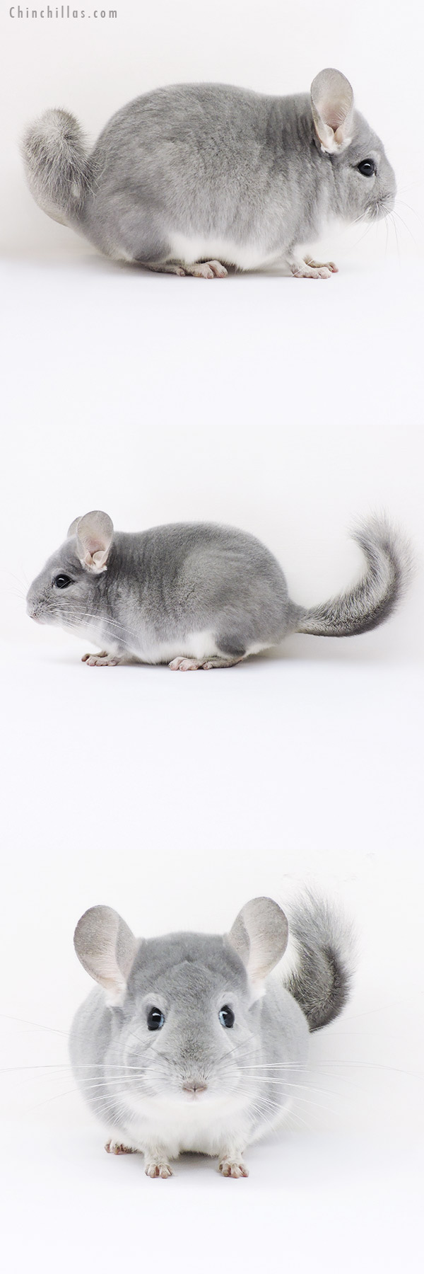 16072 Top Show Quality Blue Diamond Male Chinchilla