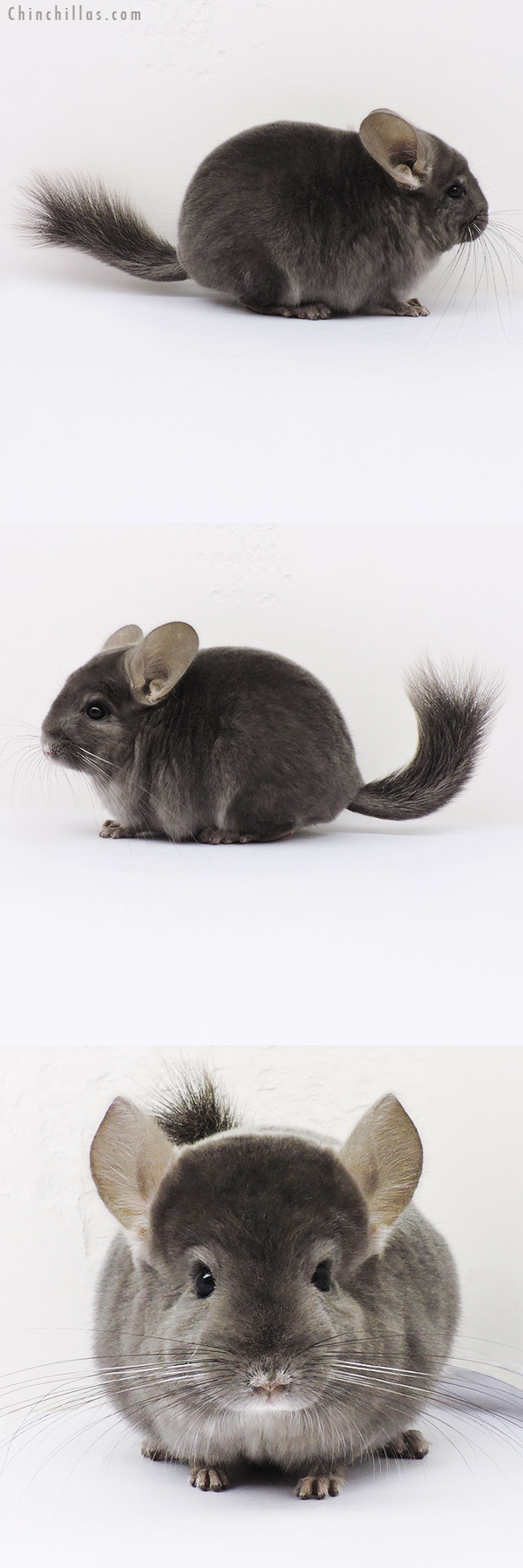16104 Top Show Quality Light Wrap Around Violet Male Chinchilla