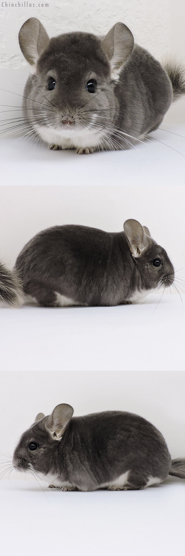 16131 Herd Improvement Quality Violet Male Chinchilla