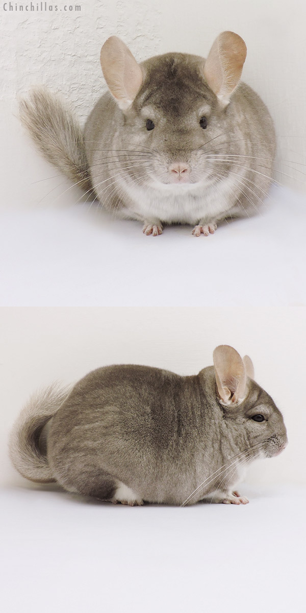 16166 Large Show Quality Beige Female Chinchilla