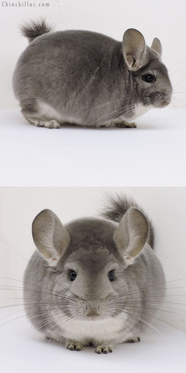 16175 Herd Improvement Quality Violet Male Chinchilla