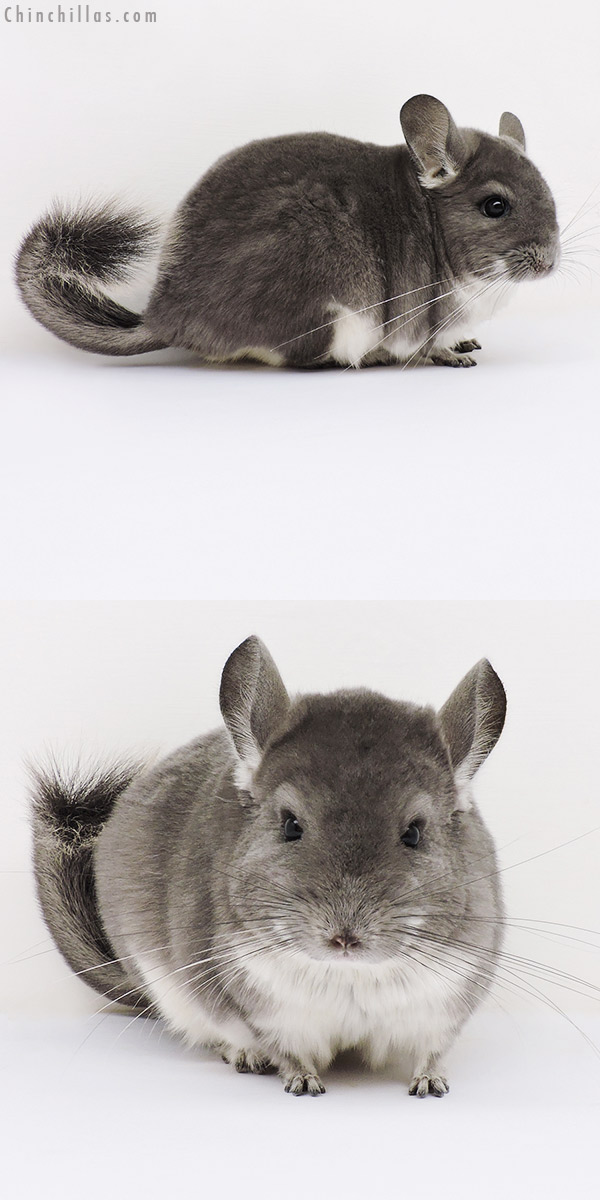 16181 Large Show Quality Violet Female Chinchilla