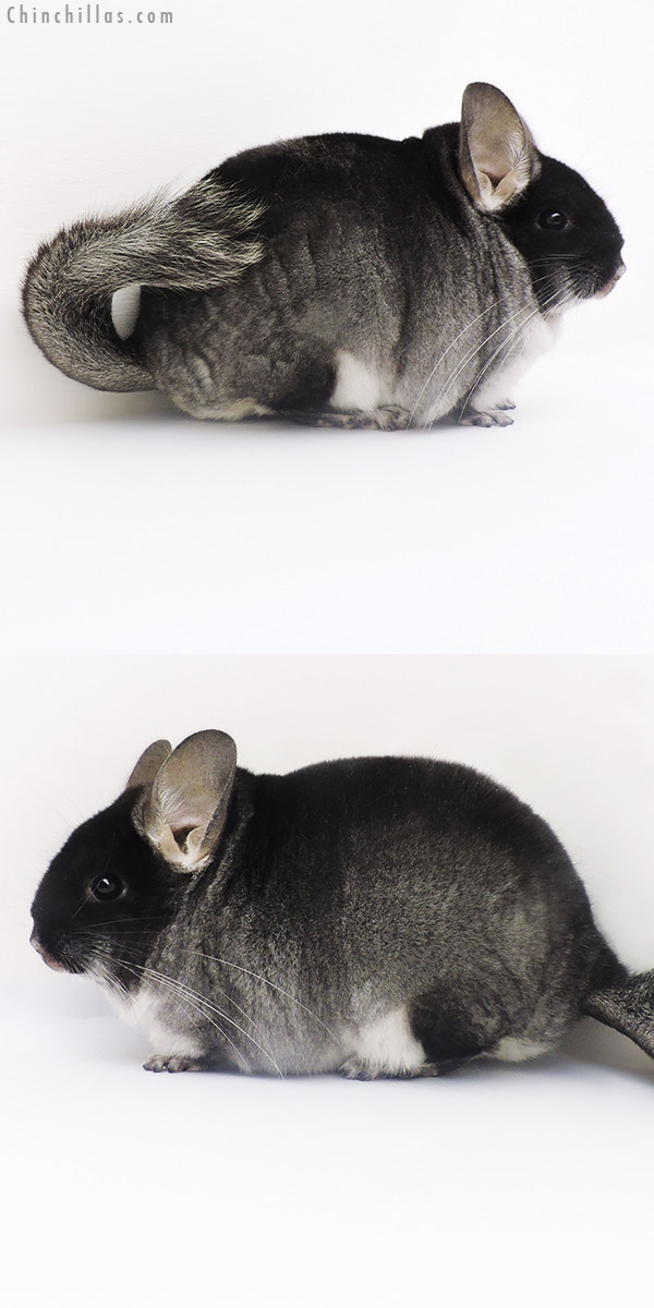 16239 Large Show Quality Black Velvet Female Chinchilla