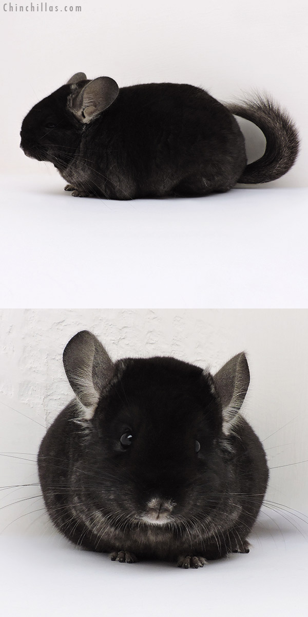 16245 Large Show Quality Brevi Type TOV Ebony Female Chinchilla
