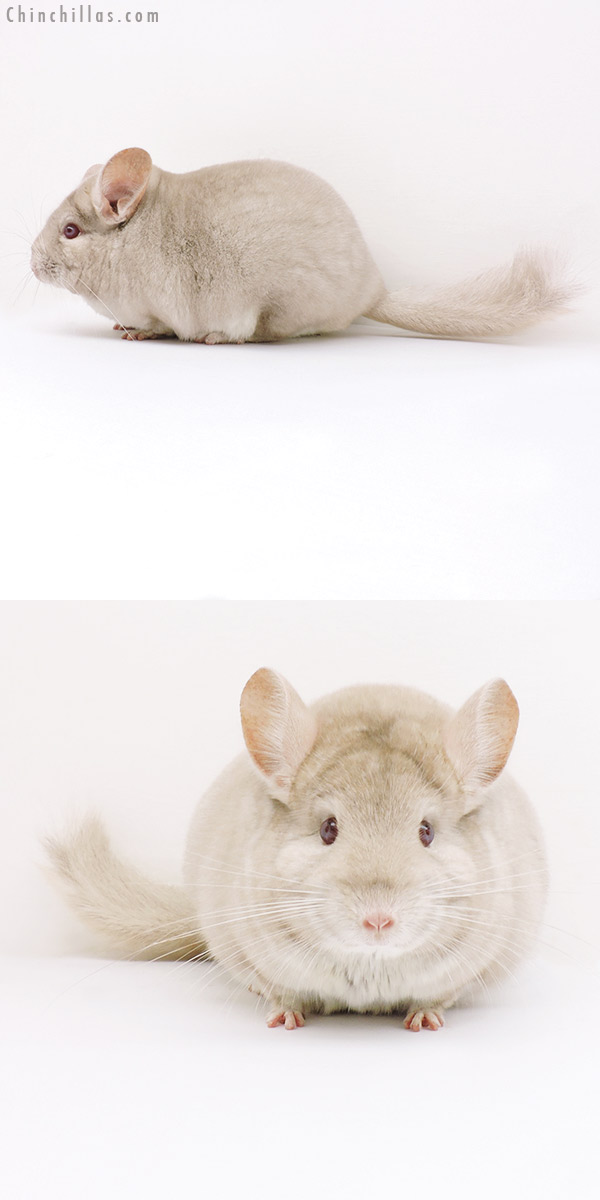 16292 Large Herd Improvement Quality Homo Beige Male Chinchilla