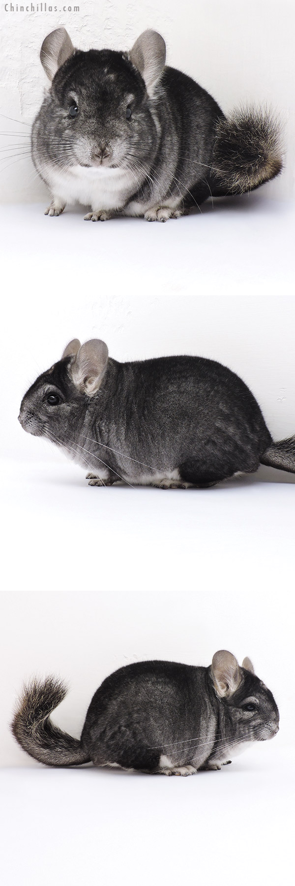 16328 Brevi Type Show Quality Standard Male Chinchilla