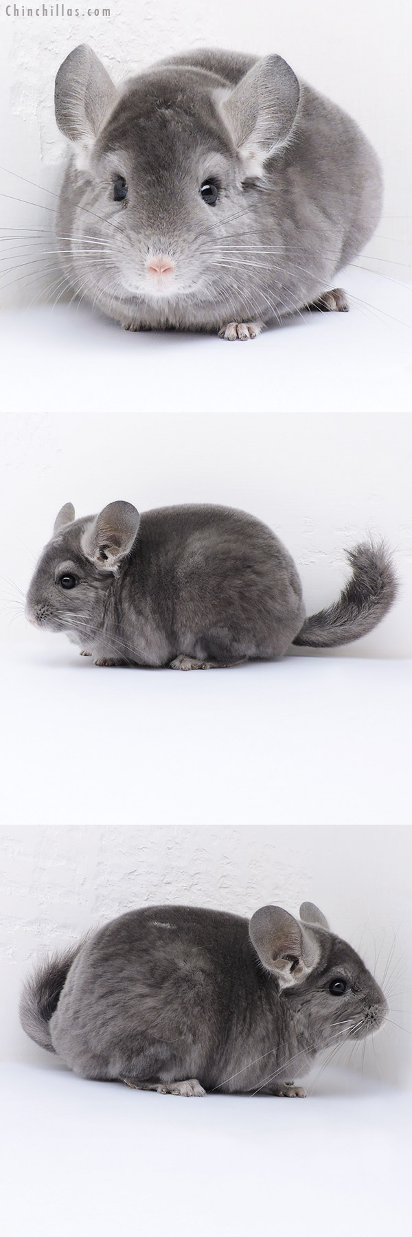 16351 Top Show Quality Wrap Around Violet Male Chinchilla