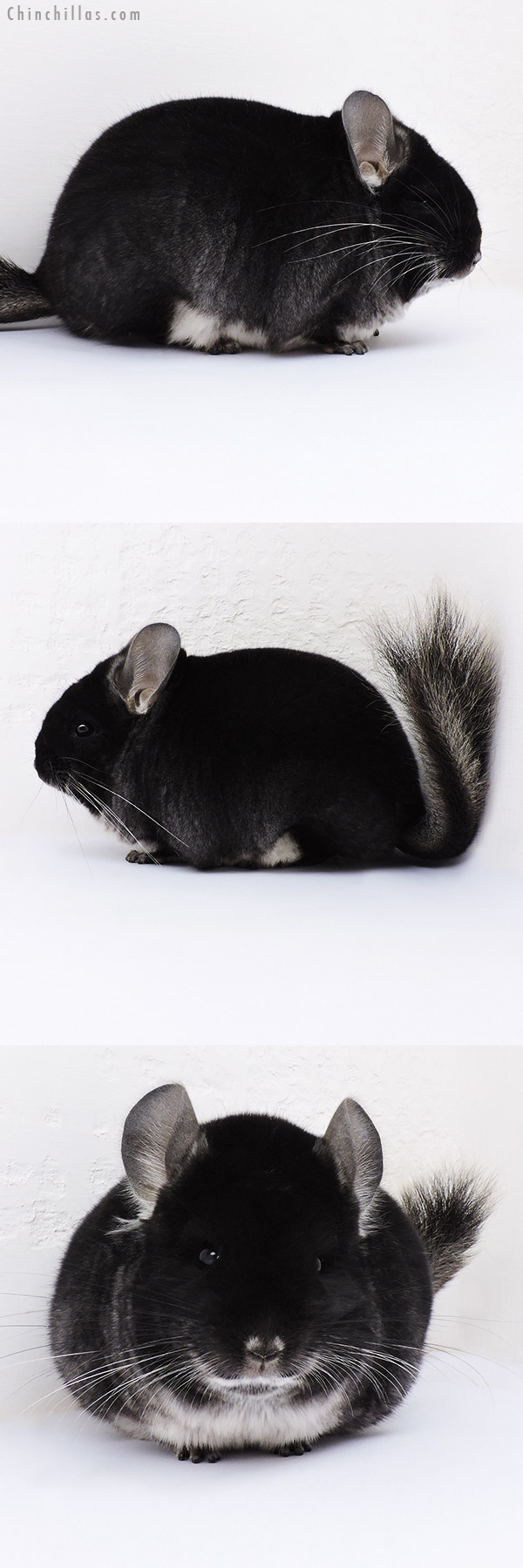 16355 Large Blocky Brevi Type Black Velvet Female Chinchilla