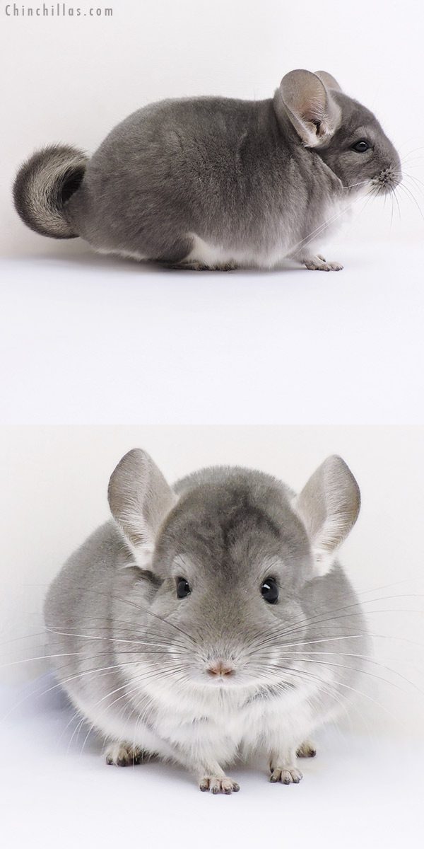 16359 Large Herd Improvement Quality Violet Male Chinchilla
