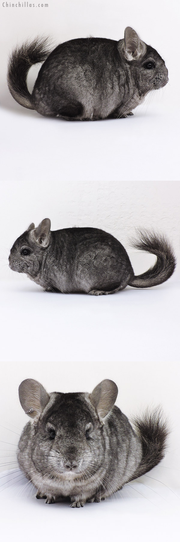 16360 Hetero Ebony ( CCCU Royal Persian Angora Carrier ) Female Chinchilla