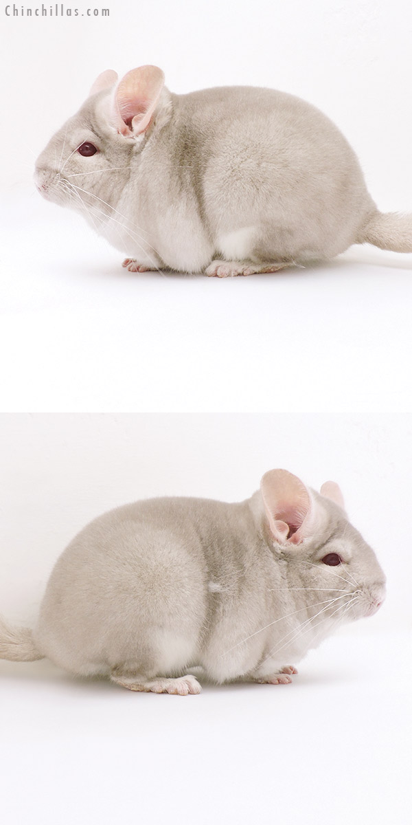 17022 Large Blocky Phase Champion Homo Beige Female Chinchilla