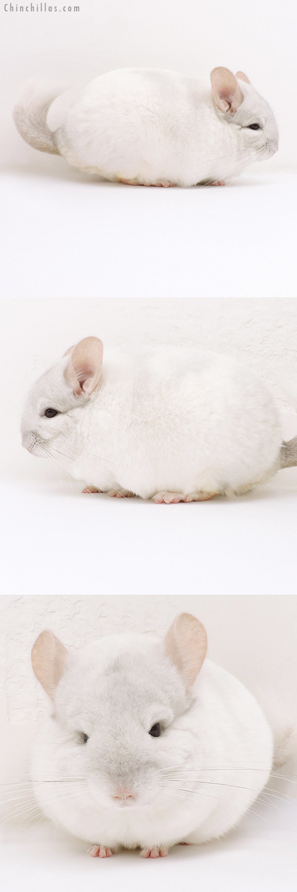 17025 Blocky Herd Improvement Quality Pink White Male Chinchilla