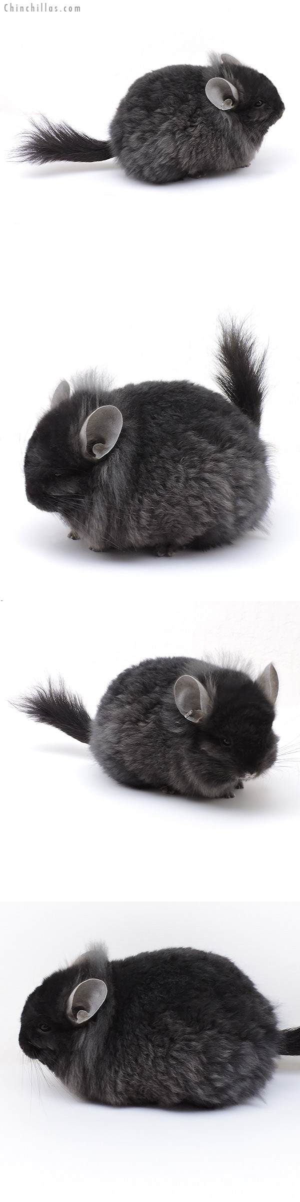17028 Exceptional Ebony CCCU Royal Imperial Angora Male with Lion Mane Chinchilla