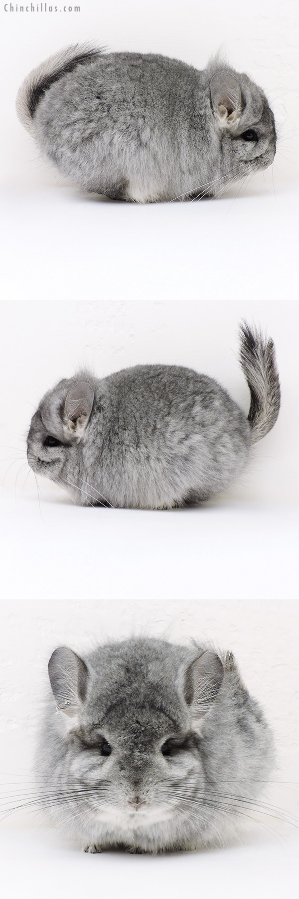 17036 Exceptional Standard CCCU Royal Persian Angora Female with Lion Mane Chinchilla