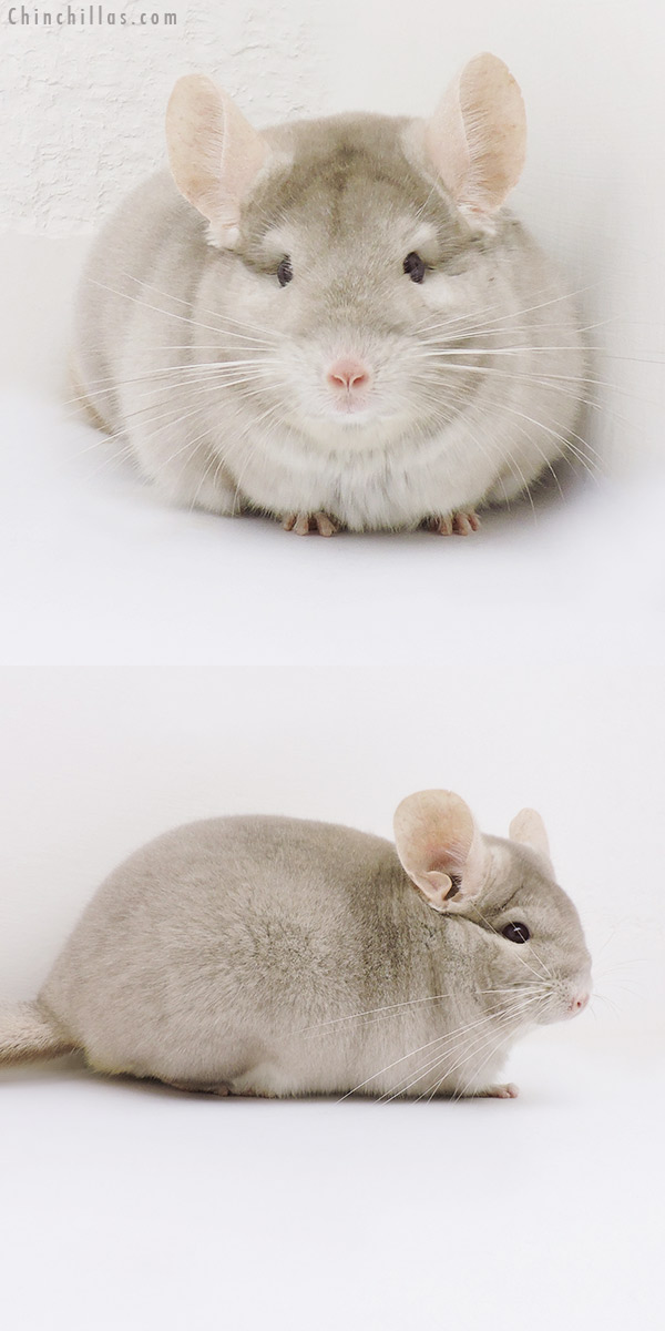 17053 Show Quality Homo Beige Male Chinchilla