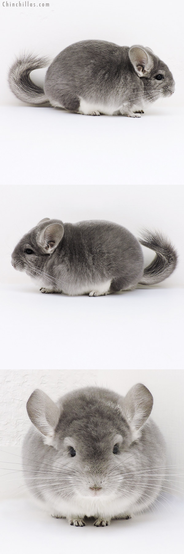 17065 Large Blocky Herd Improvement Quality Violet Male Chinchilla