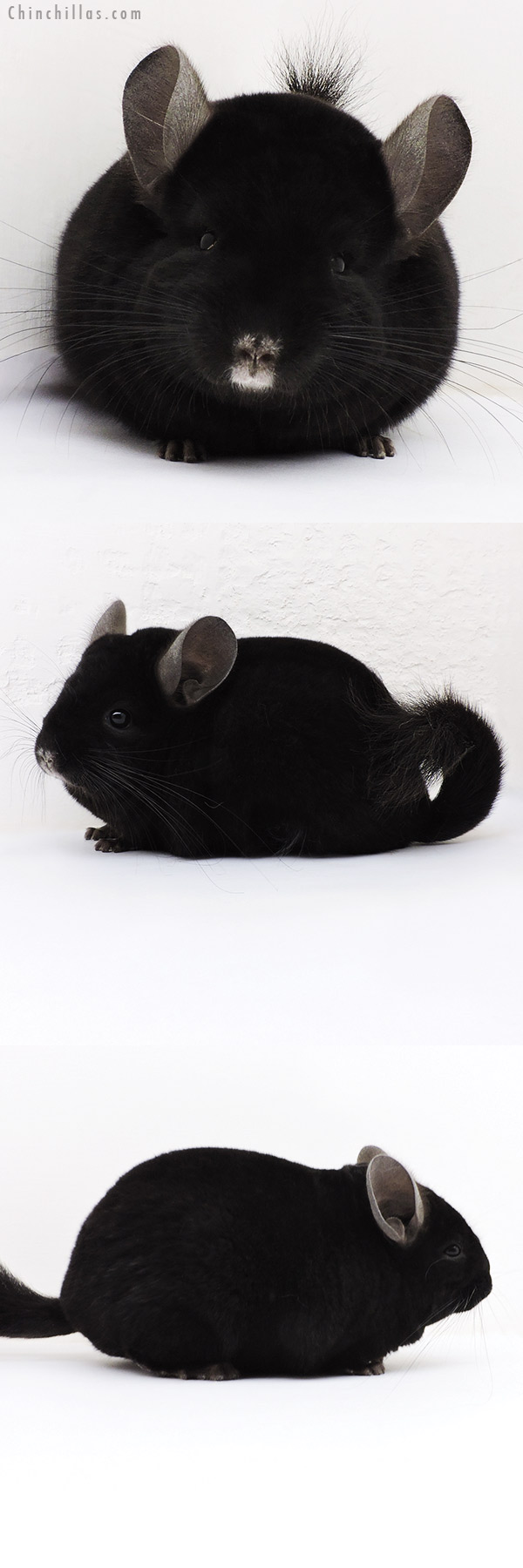 17077 Show Quality Ebony Female Chinchilla