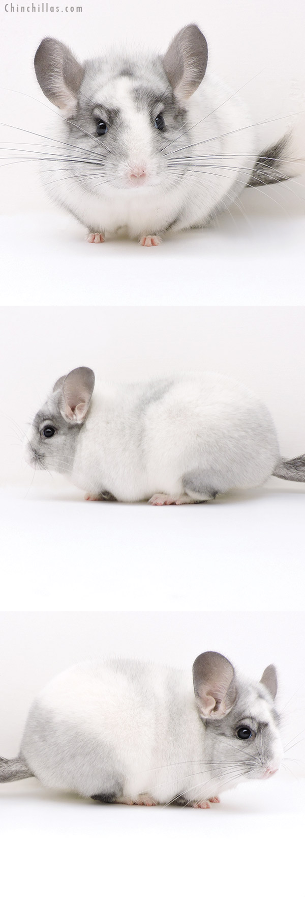 17123 Show Quality Ebony & White Mosaic Female Chinchilla