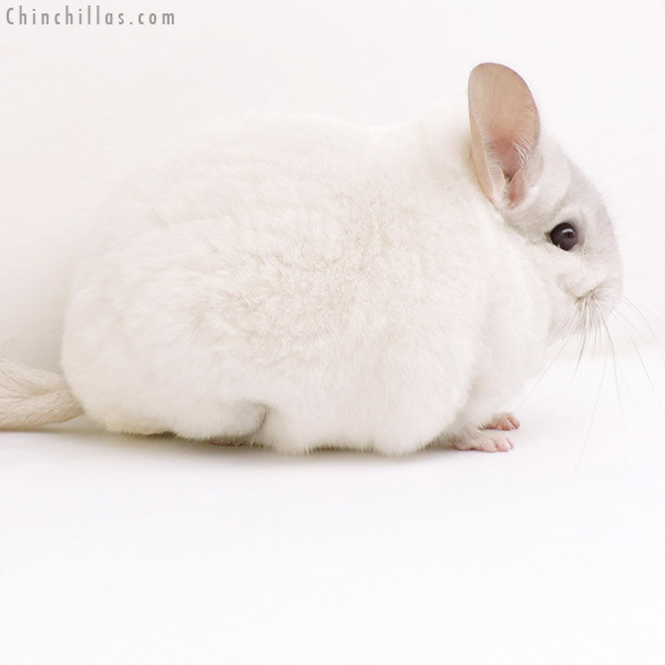 17145 Herd Improvement Quality Pink White Male Chinchilla
