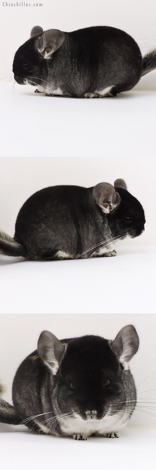 17163 Blocky Brevi Type Show Quality Black Velvet Female Chinchilla
