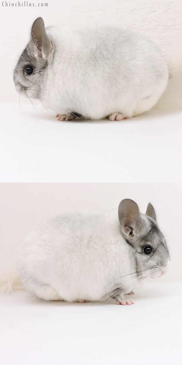 17165 Show Quality White Mosaic Female Chinchilla