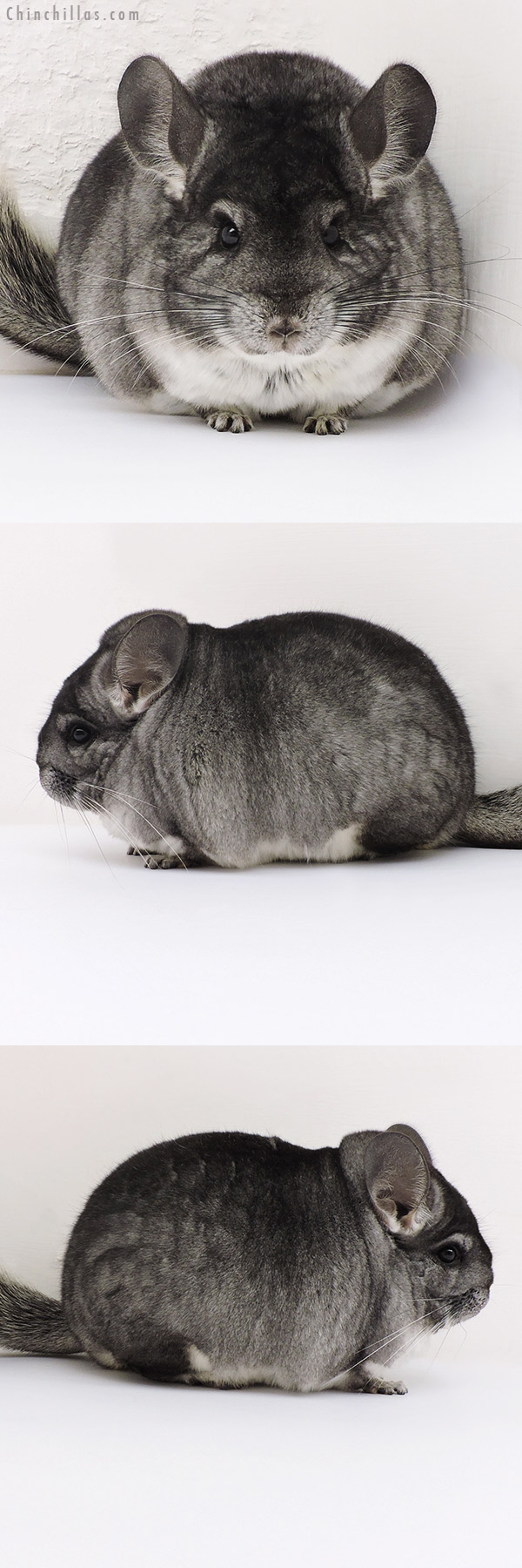 17189 Large Blocky Premium Production Quality Standard Female Chinchilla