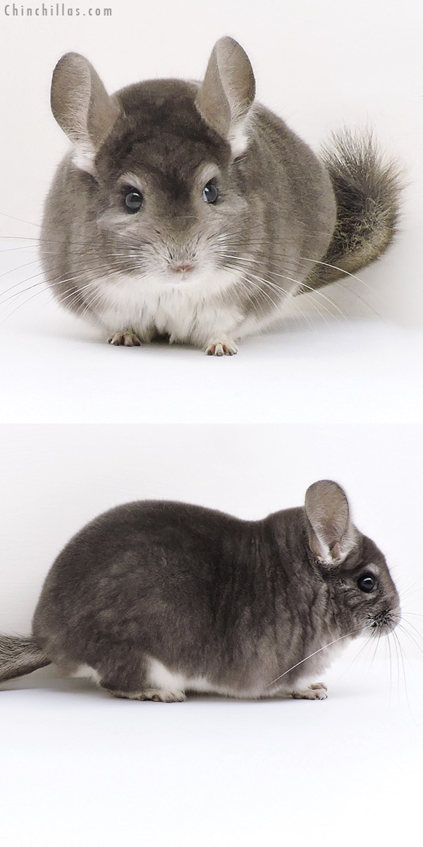 17198 Herd Improvement Quality Violet Male Chinchilla