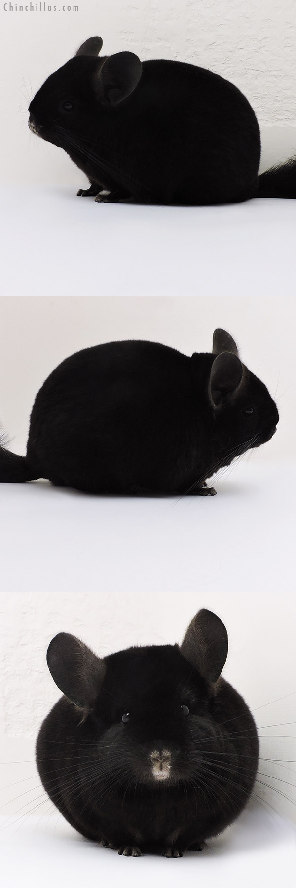 17196 Show Quality Ebony Female Chinchilla