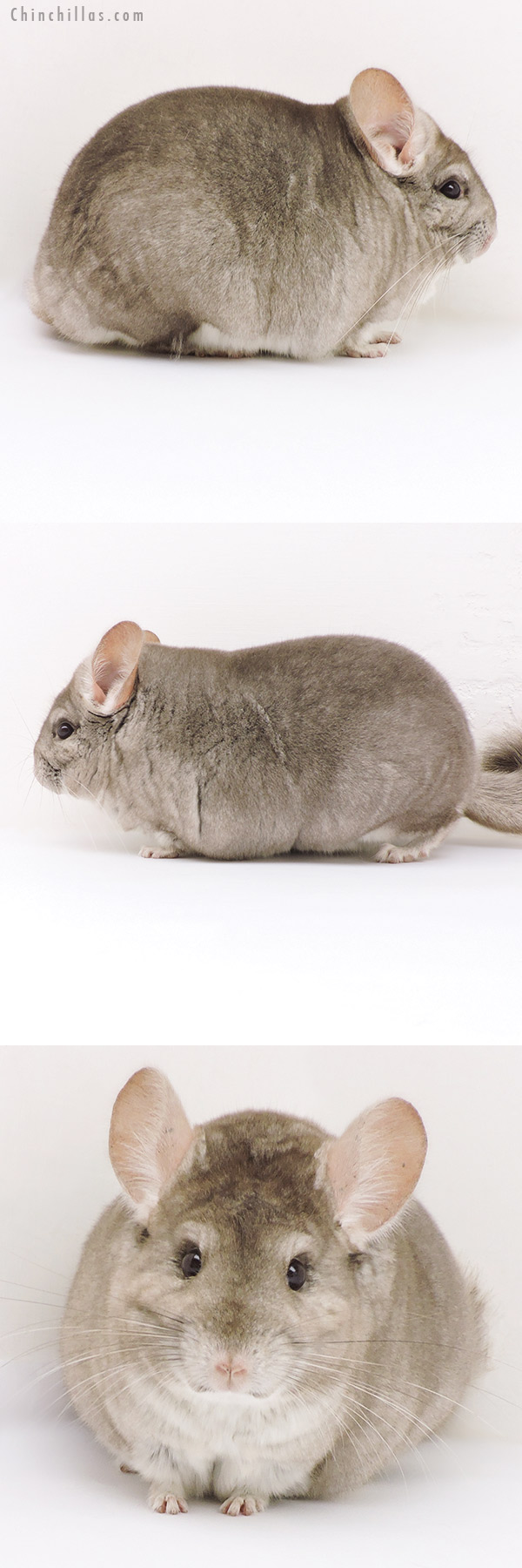 17220 Large Blocky Show Quality Beige Female Chinchilla