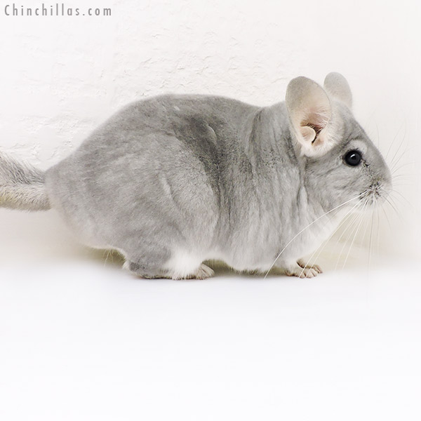17176 Large Show Quality Blue Diamond Female Chinchilla