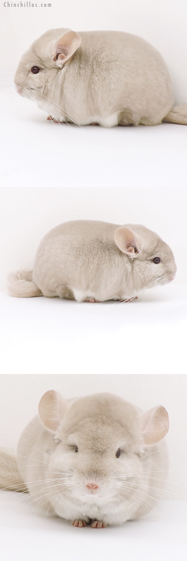 17342 Large Blocky Herd Improvement Quality Homo Beige Male Chinchilla