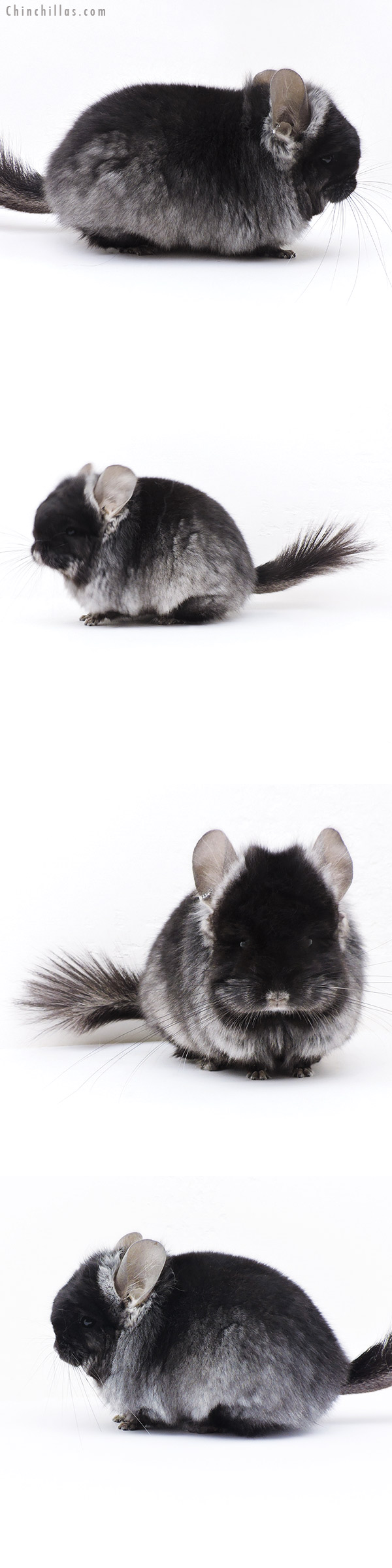 17366 Exceptional Brevi Type Black Velvet ( Violet Carrier ) CCCU Royal Persian Angora Male Chinchilla