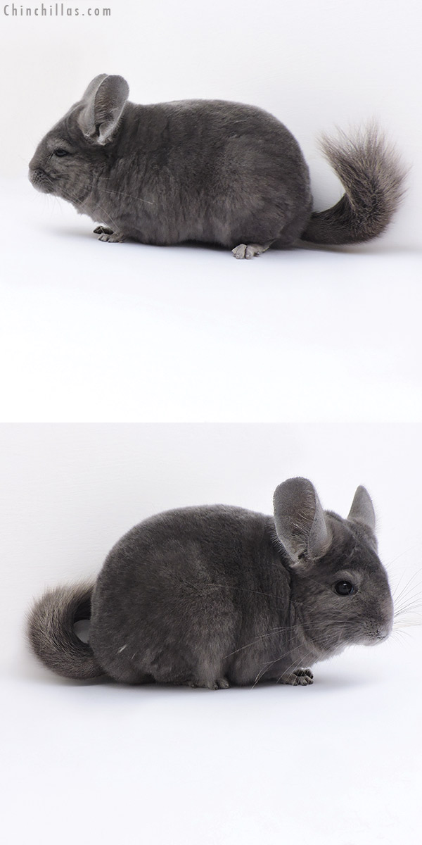 17382 Show Quality Wrap Around Violet Female Chinchilla