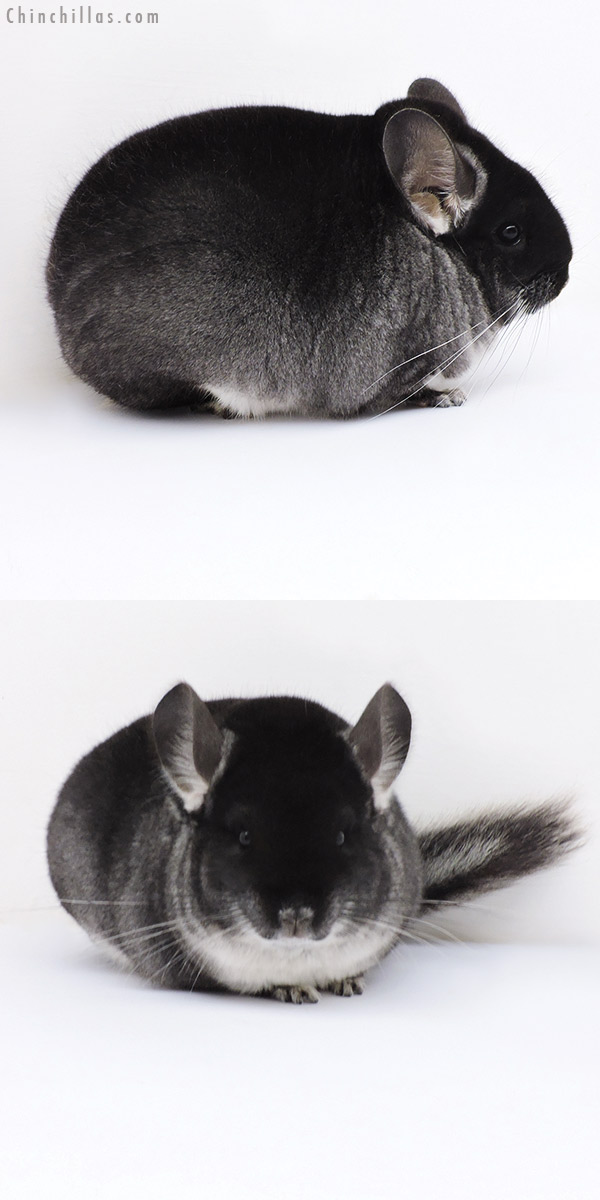 17396 Large Blocky Show Quality Black Velvet Female Chinchilla