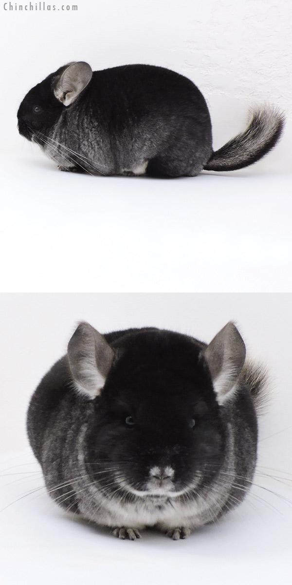 17412 Extra Large Blocky Show Quality Black Velvet Female Chinchilla