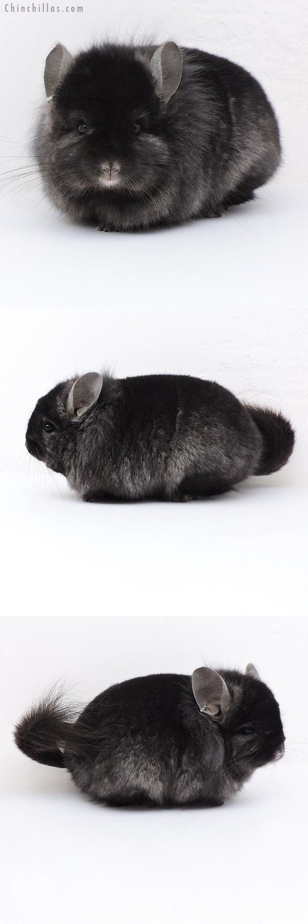 18013 Exceptional Blocky Ebony CCCU Royal Persian Angora Male with Lion Mane Chinchilla