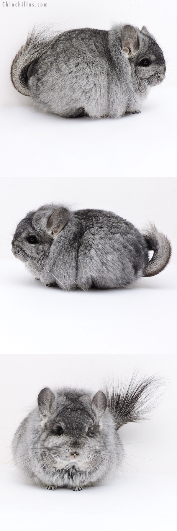 18024 Large Blocky Exceptional Standard CCCU Royal Persian Angora Female with Lion Mane Chinchilla