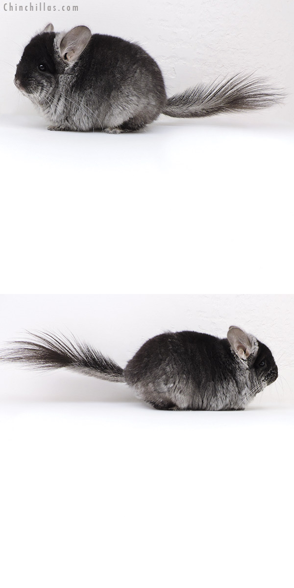 18046 Black Velvet CCCU Royal Persian Angora ( Violet & Ebony Carrier ) Male Chinchilla